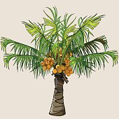cartoon small palm tree with coconuts