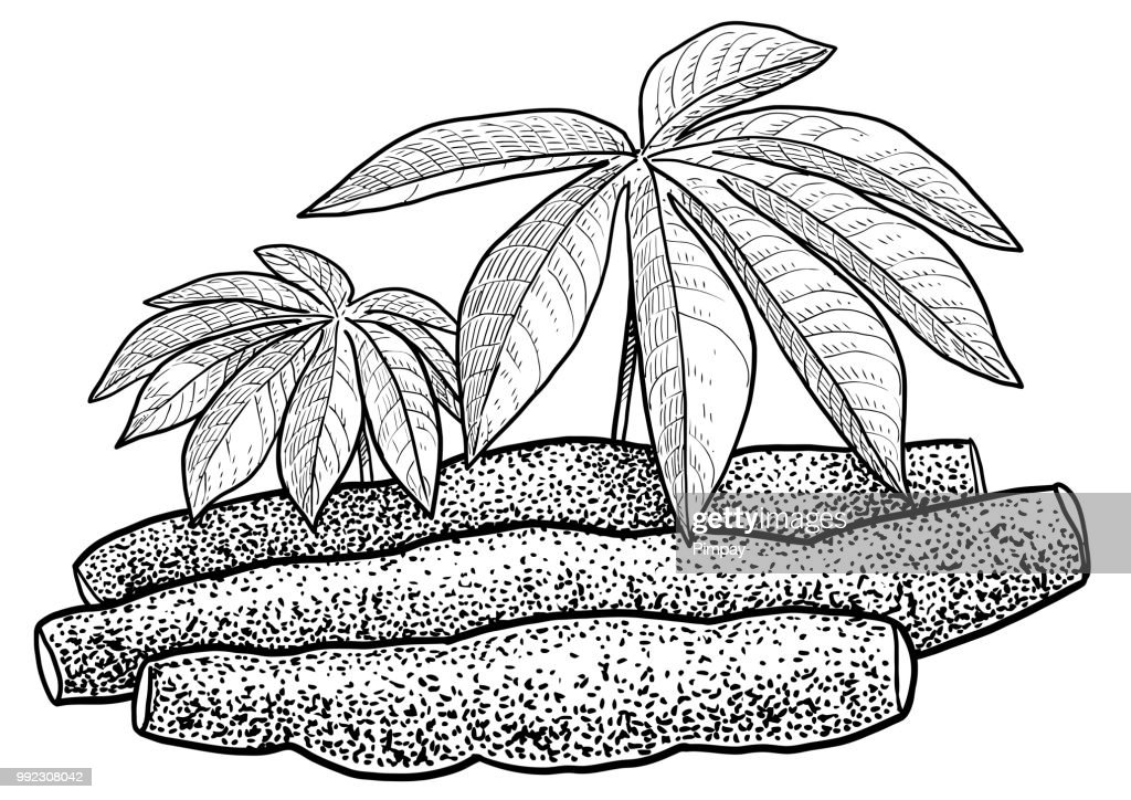 Cassava, tapioca illustration, drawing, engraving, ink, line art, vector