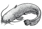 Catfish fish illustration, drawing, engraving, line art, realistic, vector