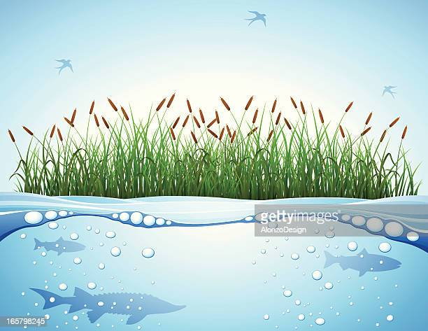 Cattail and Water