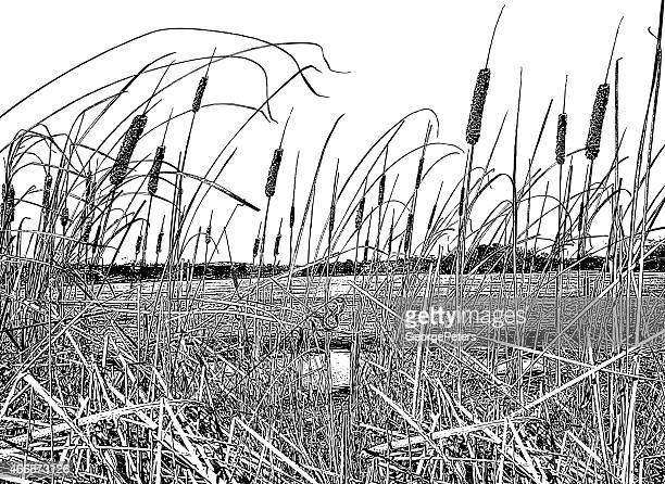 Cattails In Early Spring