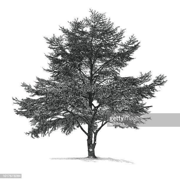 cedar tree - tree trunk stock illustrations, clip art, cartoons, & icons