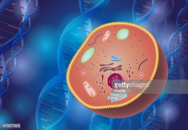 cell anatomy - rna stock illustrations, clip art, cartoons, & icons
