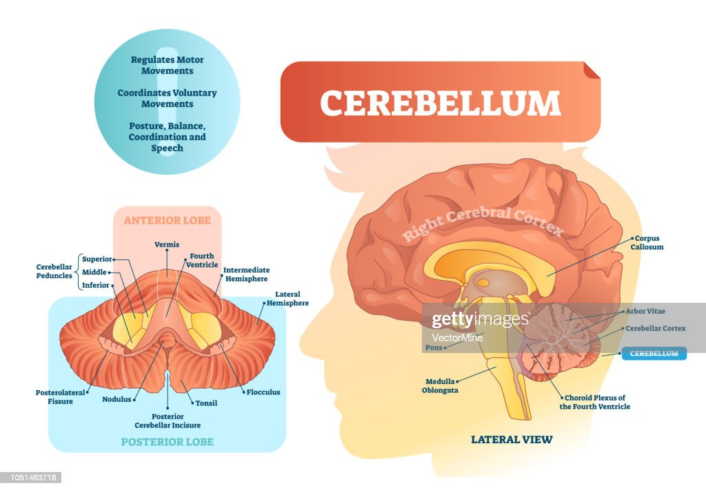 Cerebellum vector illustration. Medical labeled diagram with internal view.