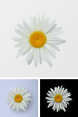 Chamomile flower isolated closeup