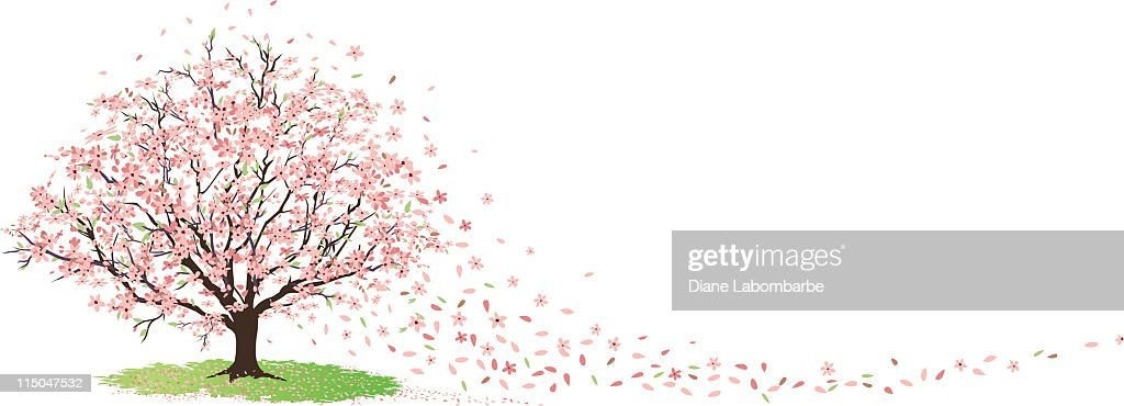 Cherry Tree in Full Bloom with Blossoms Blowing in Wind