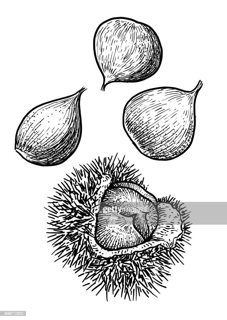 Chestnut illustration, drawing, engraving, ink, line art, vector