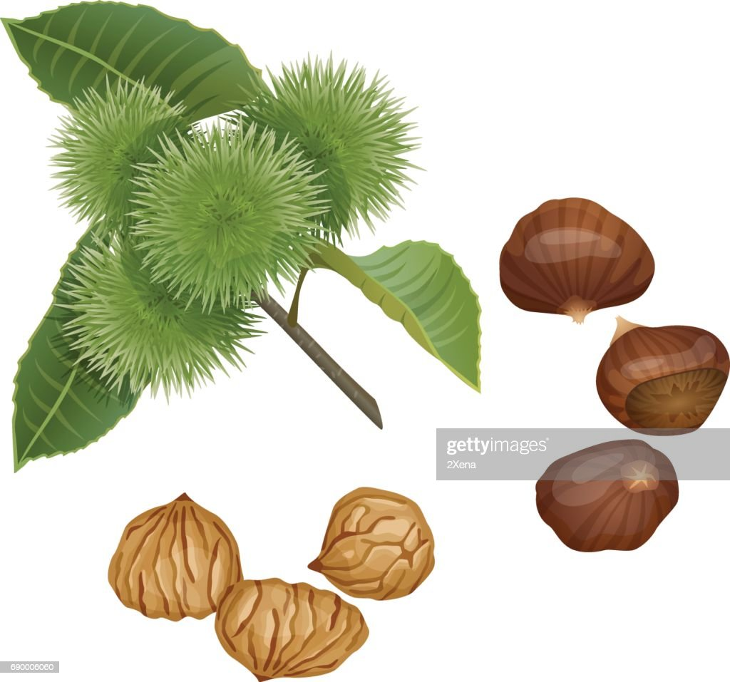 Chestnut plant, nuts and peeled kernels