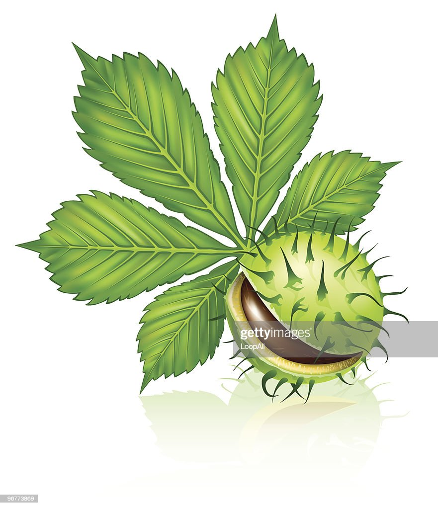 chestnut seed fruit with green leaf isolated