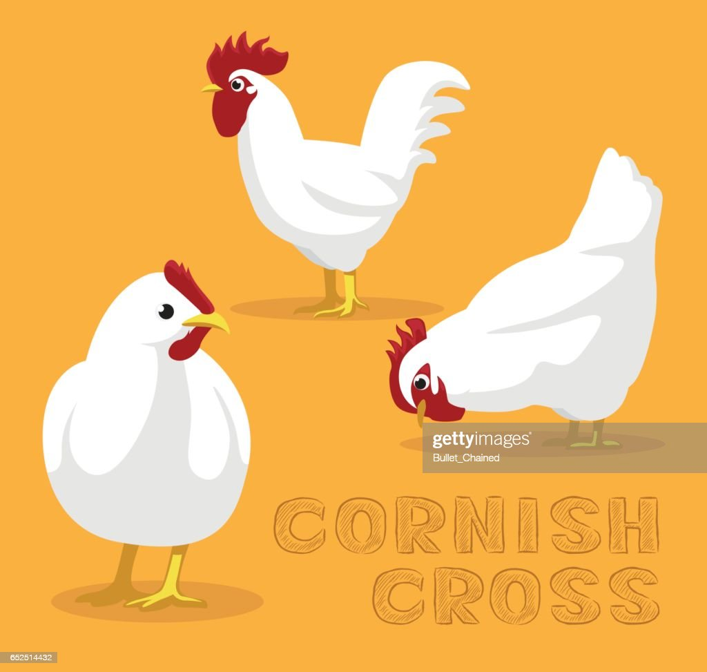 Chicken Cornish Cross Cartoon Vector Illustration