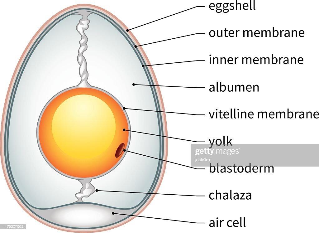 Chicken Egg Anatomy Vector Art | Getty Images
