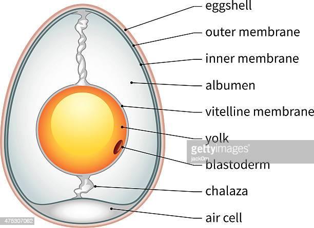 ilustraciones, imágenes clip art, dibujos animados e iconos de stock de huevo de pollo anatomía - huevo etapa de animal