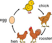 Chicken life cycle with titles
