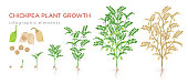 Chickpea plant growth stages infographic elements. Growing process of chickpeas from seeds, sprout to mature plant fruit-bearing with roots vector illustration life cycle isolated on white background.