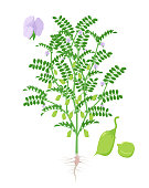 Chickpea plant vector illustration isolated on white background. Chickpeas and flowering and fruit-bearing plant with green pods and foliage and roots in flat design