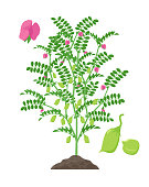 Chickpea plant vector illustration isolated on white background. Chickpea flowering and fruit-bearing plant with green pods and foliage growing in the soil botanical illustration in flat design