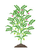 Chickpea plant vector illustration isolated on white background. Chickpea flowering and fruit-bearing plant with green pods and foliage growing in the soil botanical illustration in flat design.