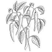 Chilli pepper graphic bush black white isolated sketch illustration vector