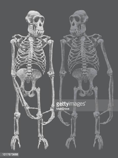 chimpanzee skeleton - chimpanzee stock illustrations, clip art, cartoons, & icons