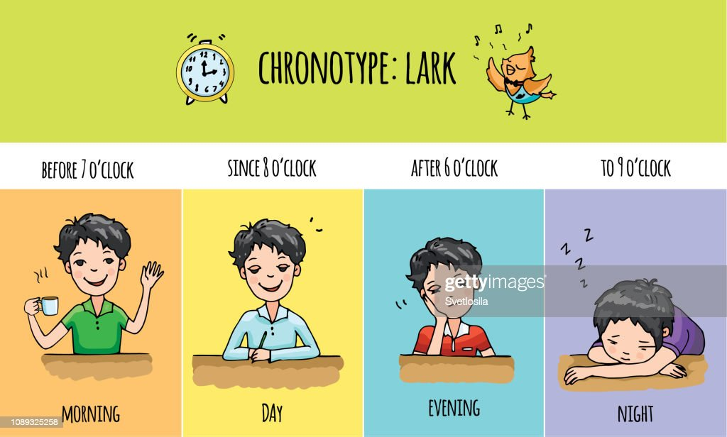 Chronotype of people: lark. Typical of the person's daily activity. Daily regime of skylark. Vector illustration of laverock chronotype. Early morning bird people.