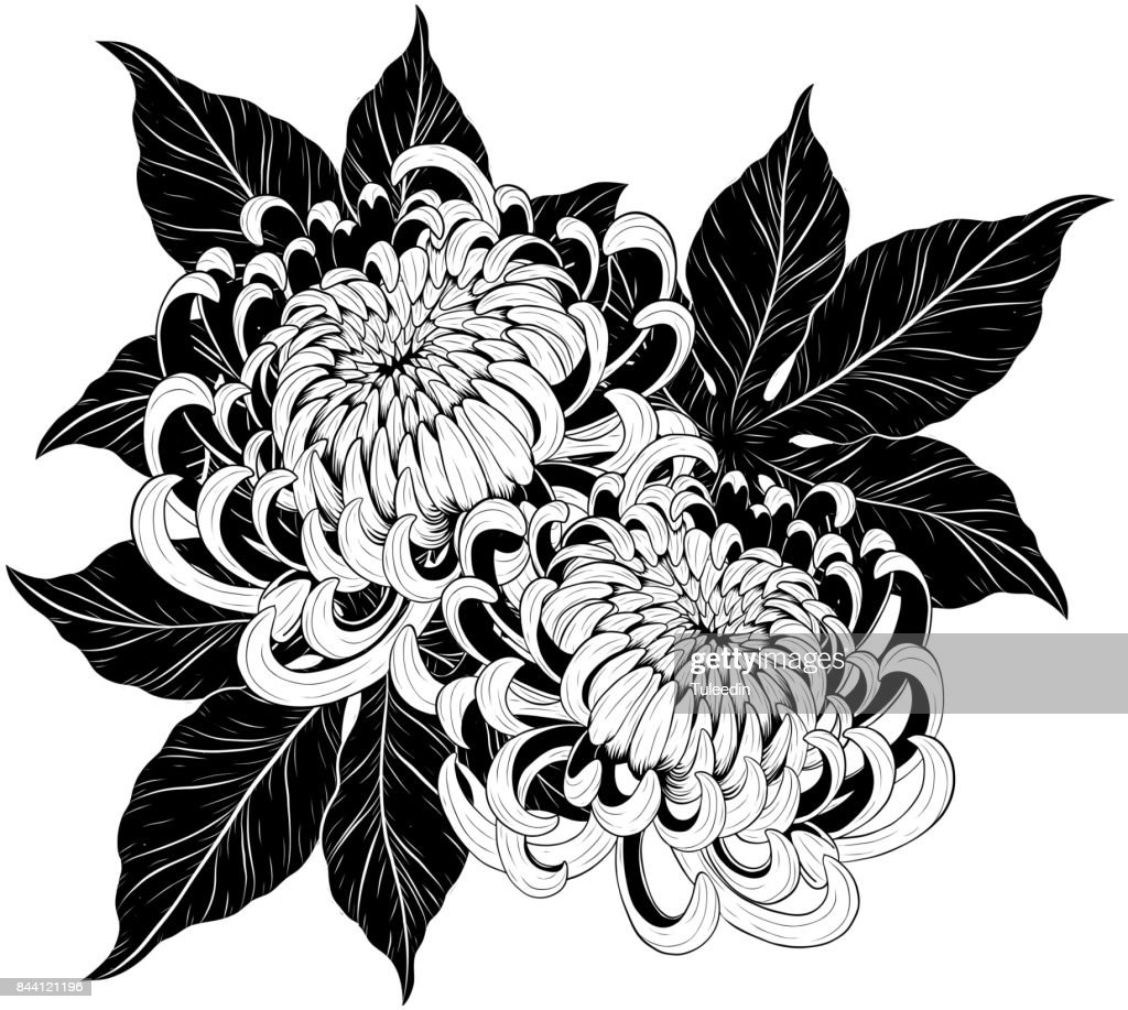 Chrysanthemum flower by hand drawing