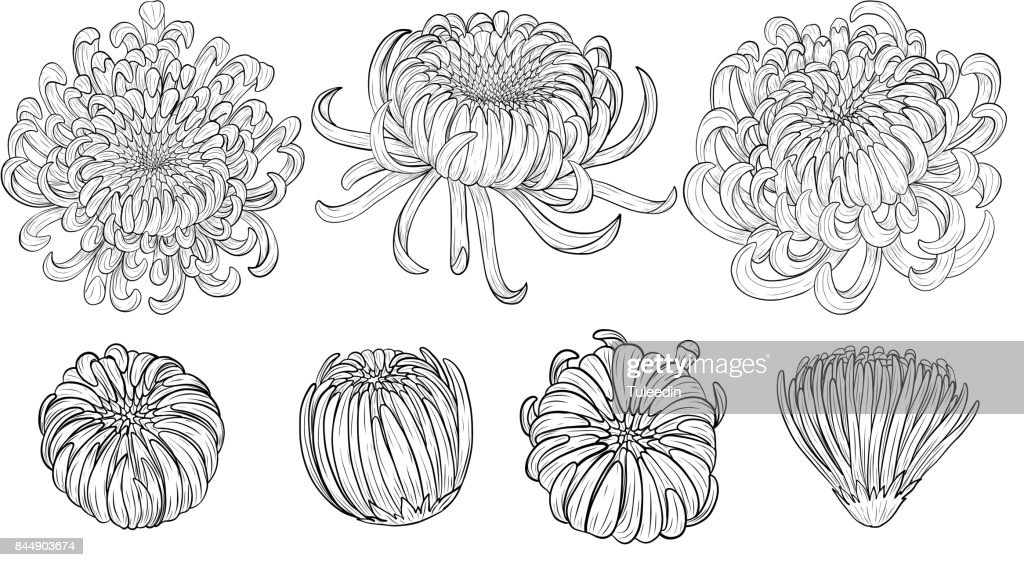 Chrysanthemum vector on brown background.Chrysanthemum flower by hand drawing.
