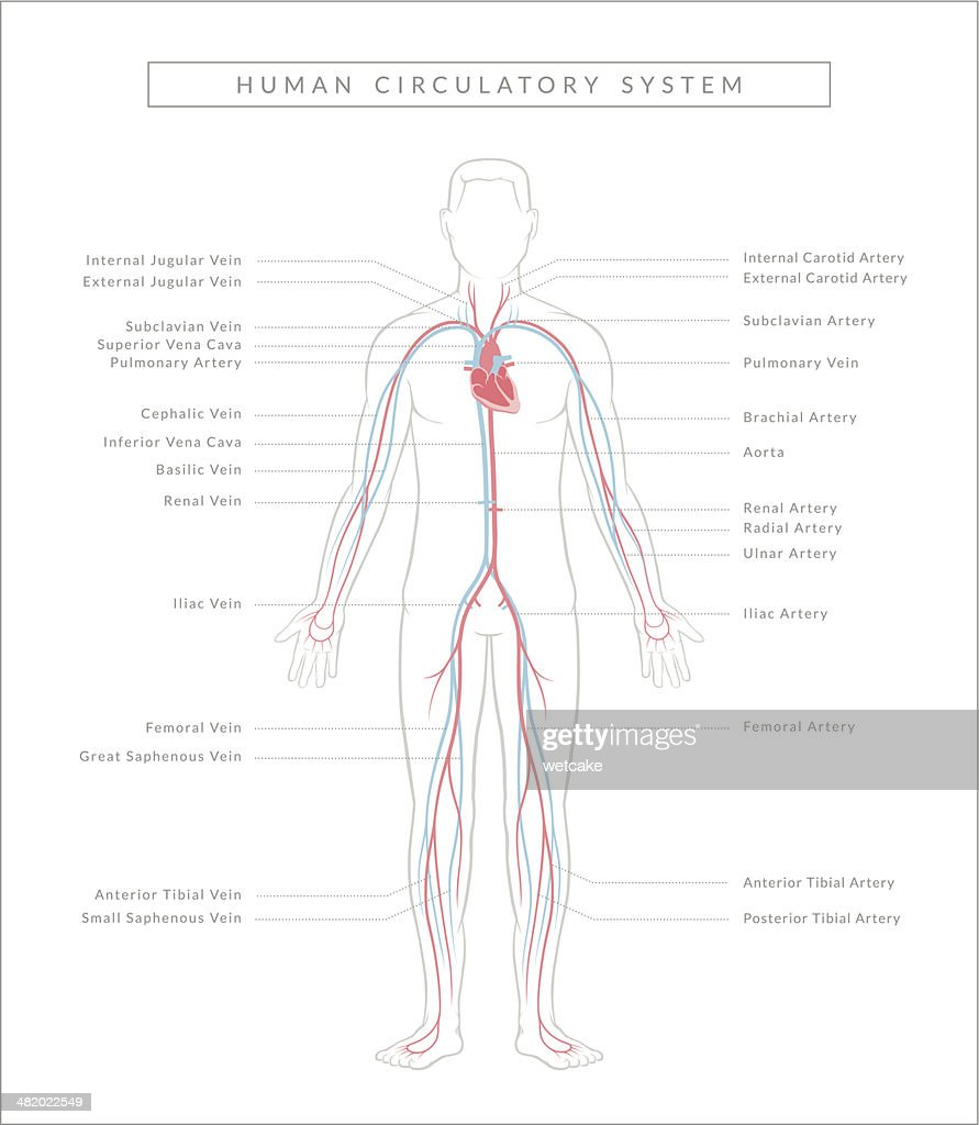 Circulatory System Diagram High Res Vector Graphic Getty