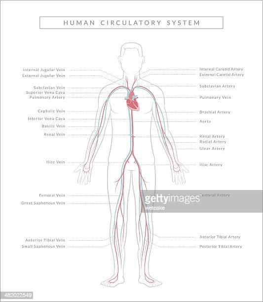 Circulatory System, Diagram