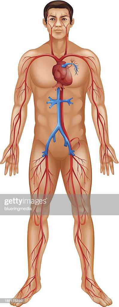 Circulatory system of the human body
