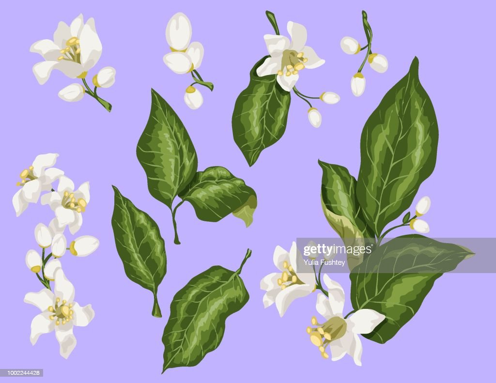 Citrus branches set with flowers and leaves. Flowers of orange, lime, lemon and others