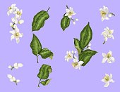 Citrus branches set with flowers and leaves. Flowers of orange, lime, lemon and mandarin