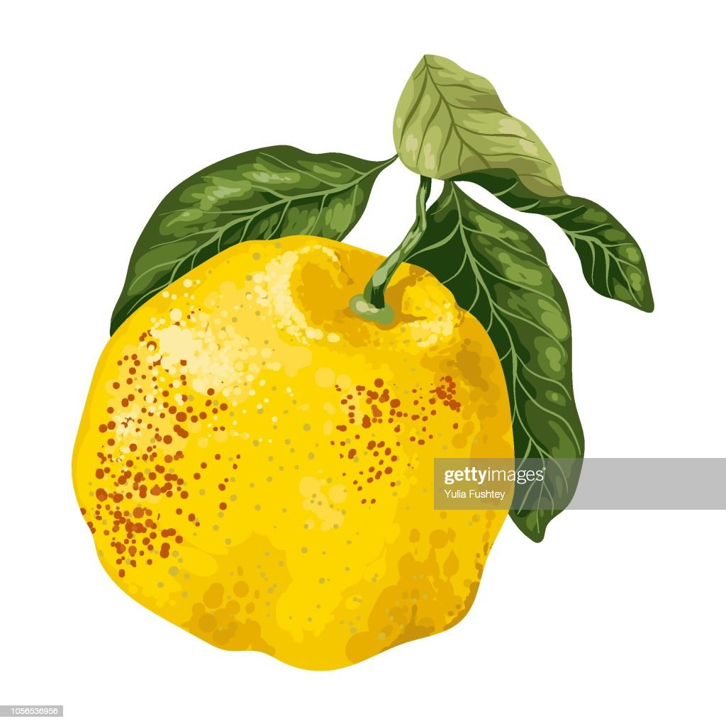Citrus fruit grapefruit or juicy pamelo in vector