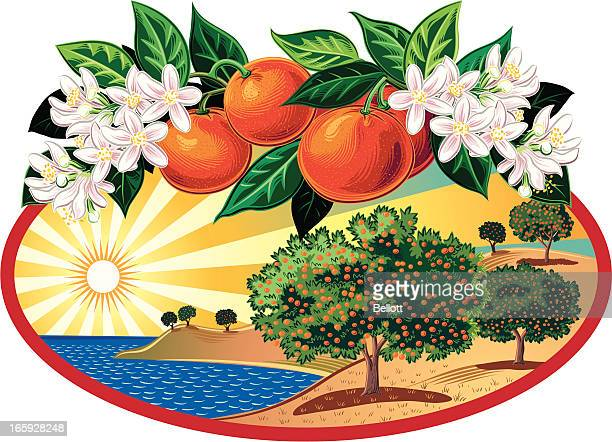 citrus grove in oval frame - orange orchard stock illustrations