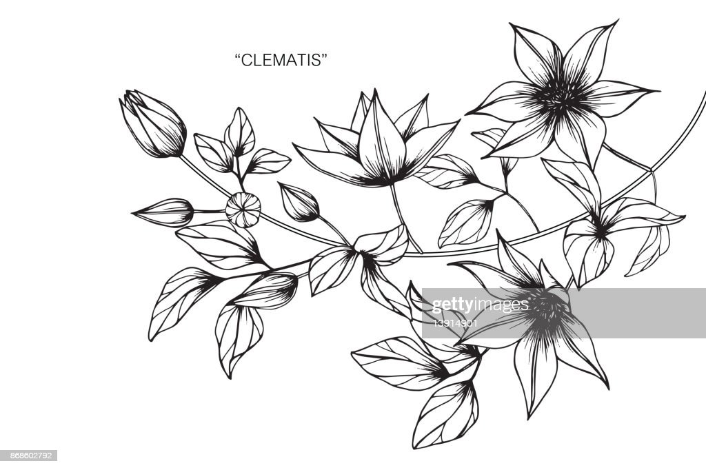Clematis flower drawing.