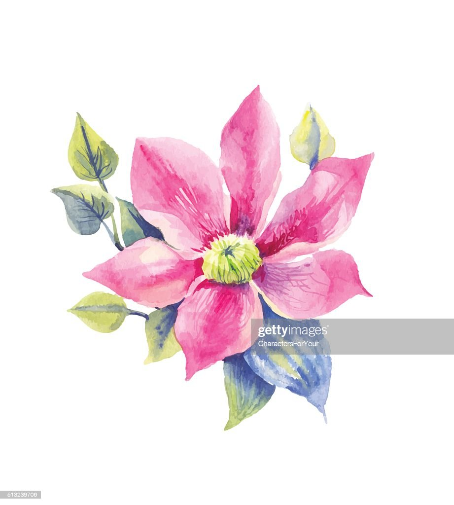 Clematis, tropical flower in watercolor
