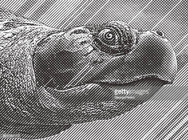 Close up Engraving of a Loggerhead Sea Turtle head