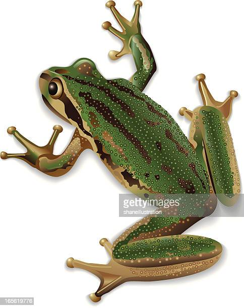 Close up of a green frog on a white background