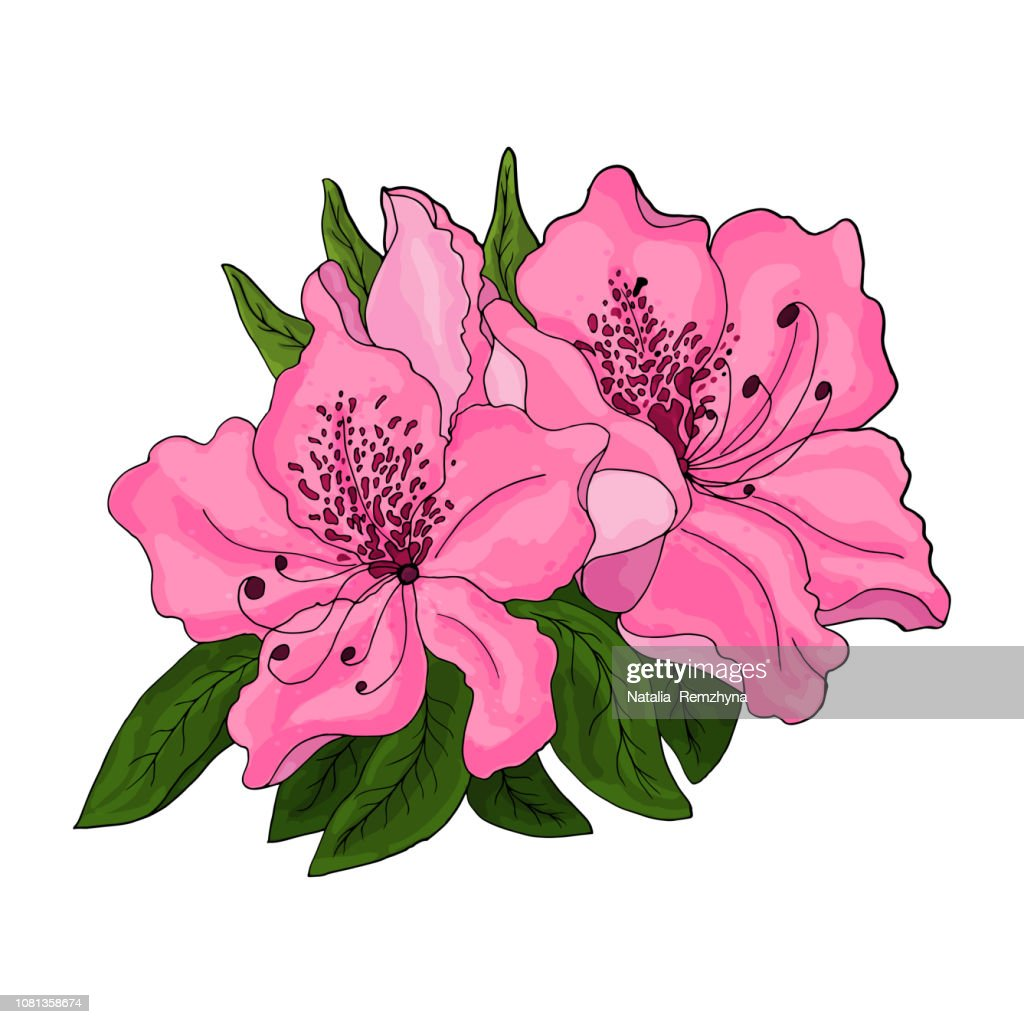 Closeup of pink azalea flowers with green foliage and half open bud on white background.