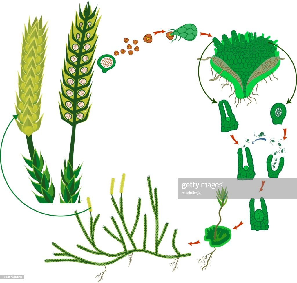 Clubmoss life cycle diagram of a life cycle of lycopodium vector clubmoss life cycle diagram of a life cycle of lycopodium running clubmoss or lycopodium clavatum pooptronica Choice Image