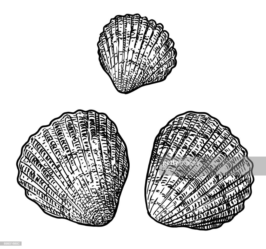 Cockle clam illustration, drawing, engraving, ink, line art, vector