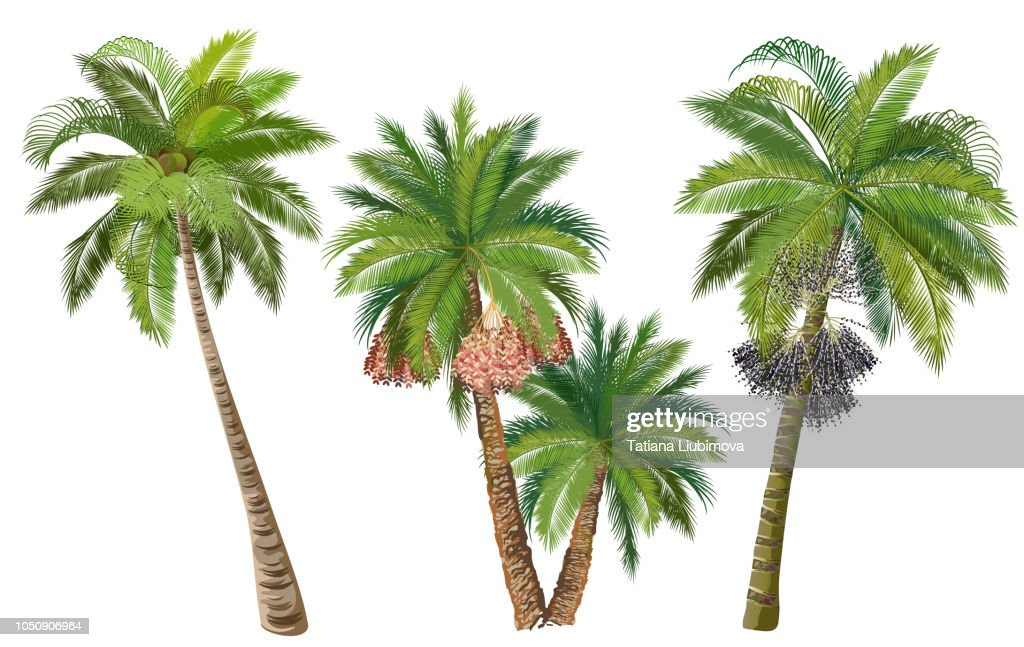 Coconut, date and acai palm trees, set of realistic vector illustrations.