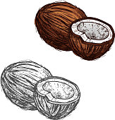 Coconut fruit of tropical palm sketch, food design