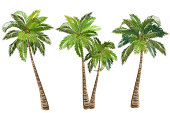 Coconut palm trees, set of realistic vector illustrations.