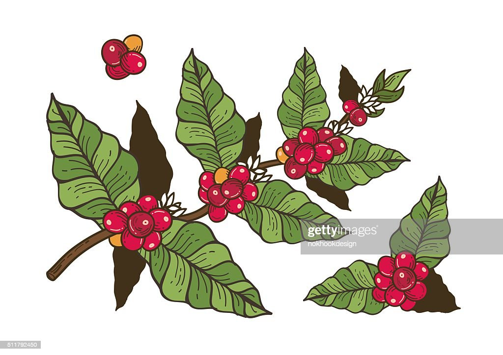 Coffee flowers and berries freehand drawing