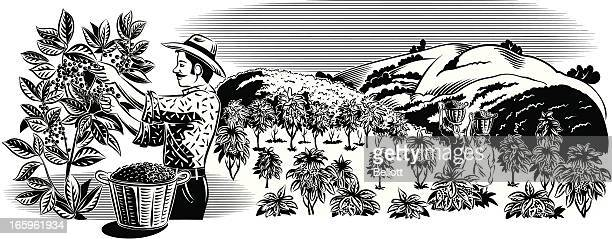 coffee picker in plantation - mature adult stock illustrations