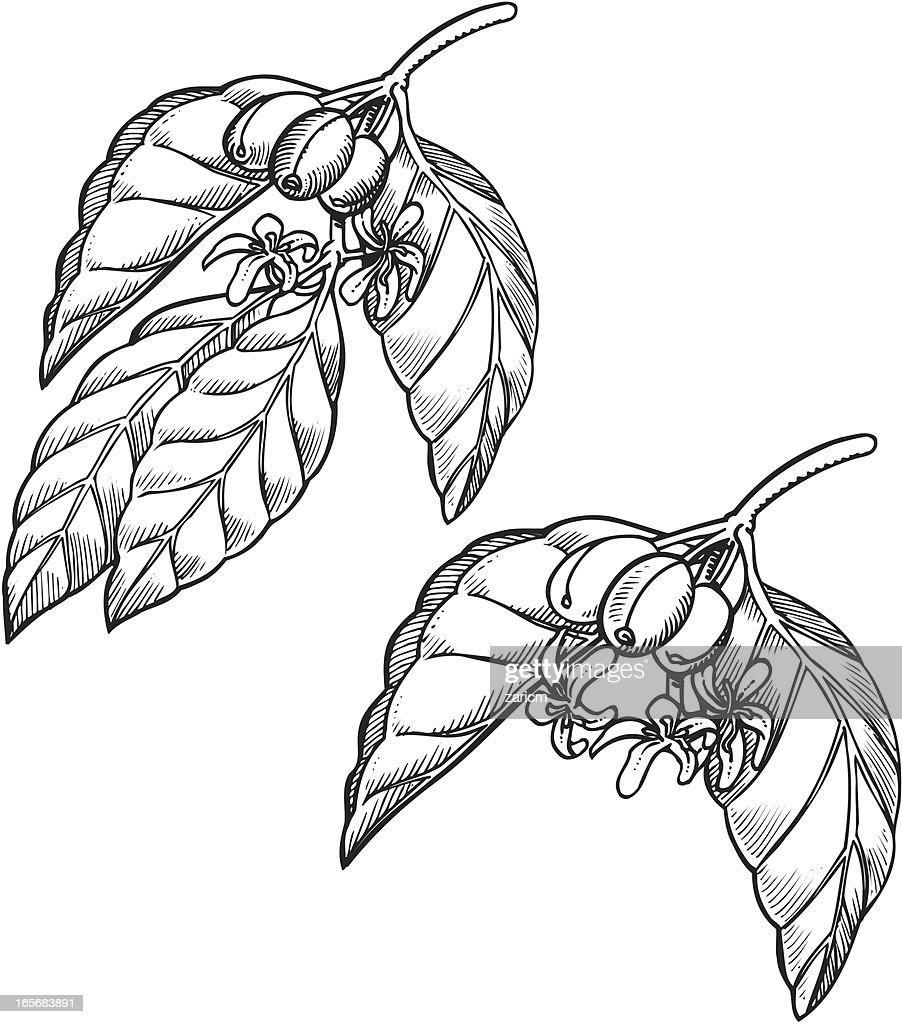 Coffee Plant Vector Art Getty Images