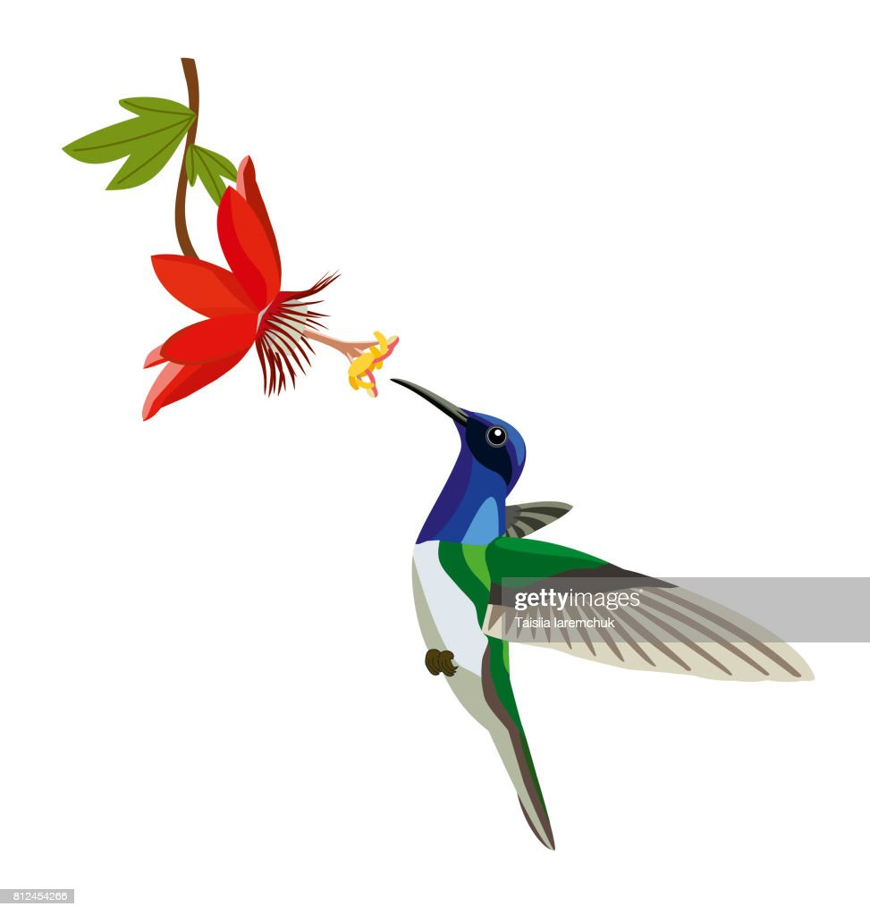 Colibri with a flower on a white background.