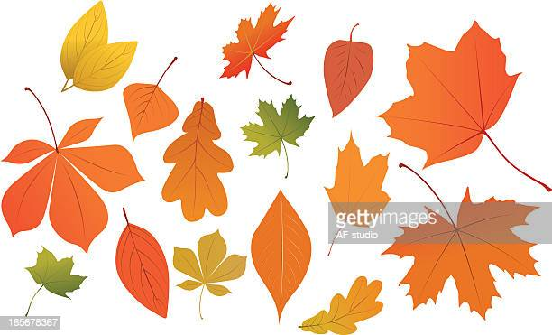 collection of autumn leaves on white background - oak leaf stock illustrations