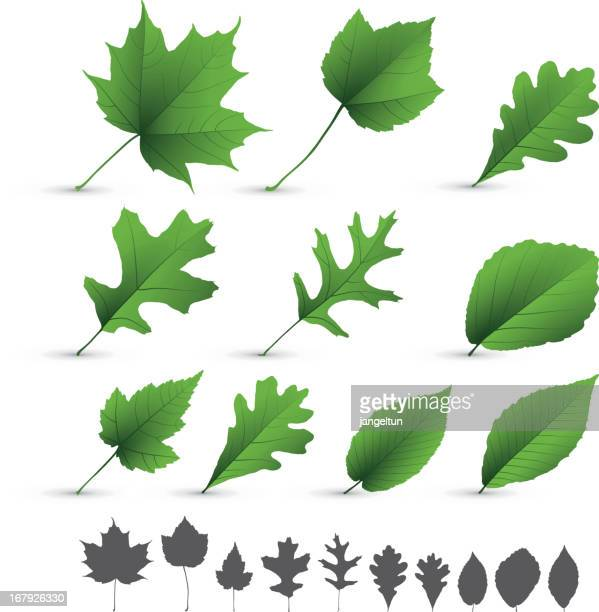 a collection of various types of leaves on white background  - oak leaf stock illustrations