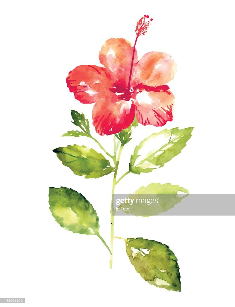 Collection Of Watercolor Hibiscus Flowers Vector Art Getty Images